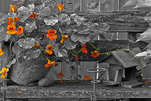 Sandra Foster - Nasturtiums In The Breeze - Selective Color
