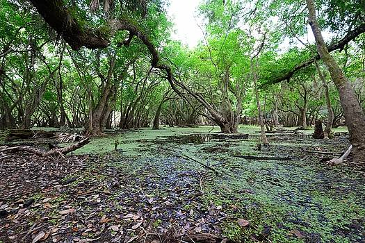 Patricia Twardzik - Natural Florida Swamp