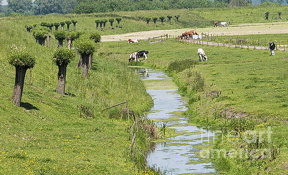 Compuinfoto   - nature with cows in holland