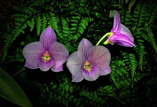 Natures Contrasts - Orchids And Ferns 003 by George Bostian