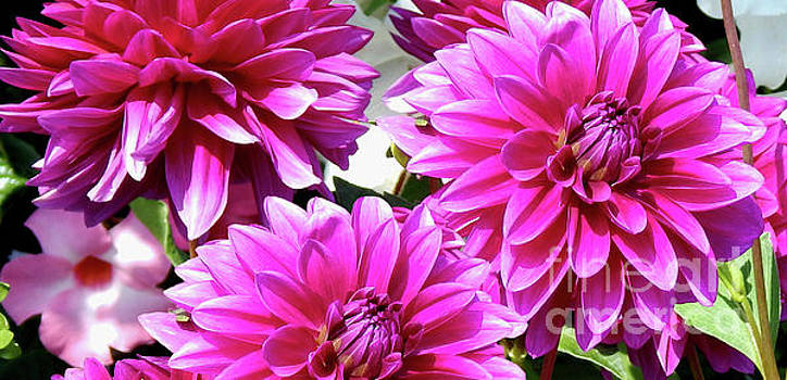 Natures Perfume Dahlias Red Tones by Dave Nevue