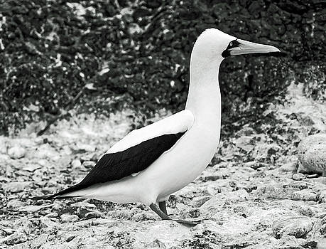 Nazca Booby Side View by Sally Weigand