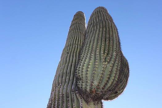 Wickenburg Saguaro  by Antonio Romero
