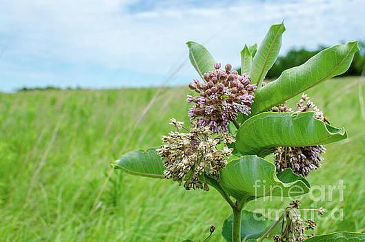 Nebraska Milkweed by Kassie Nelson