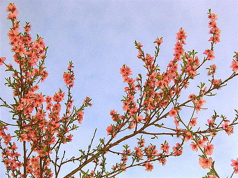 Nectarine Blossoms by K Hoover