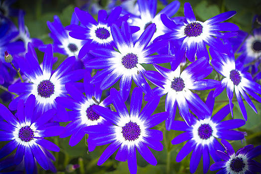 Venetia Featherstone-Witty - Neon Purple Cineraria