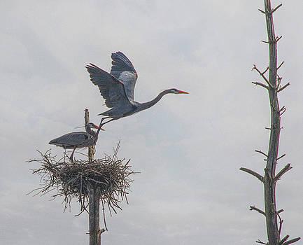 Nesting Great Blue Heron by Betty Pauwels
