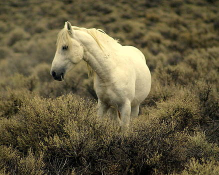 Marty Koch - Nevada Wild Horses 4