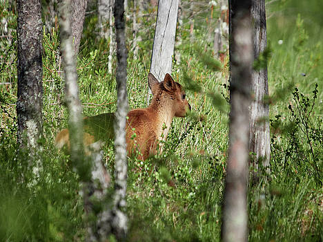 Newborn. Rare and wild. Finnish forest reindeer by Jouko Lehto
