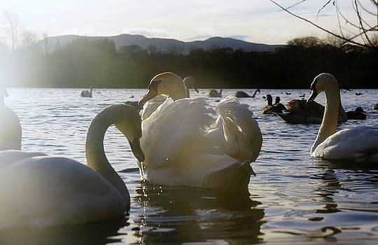 Duddingston Swan 11 by Nik Watt
