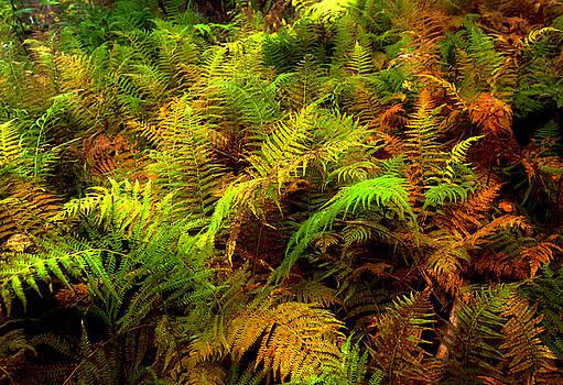 New Hampshire Ferns by Matt Shiffler
