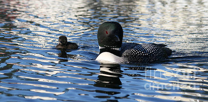Sandra  Huston - New Loon Chick