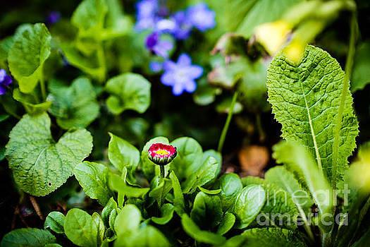 Ismo Raisanen - New Season for Bellis Perennis Bellissima Red