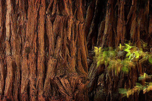 Sequoia by Niall Whelan