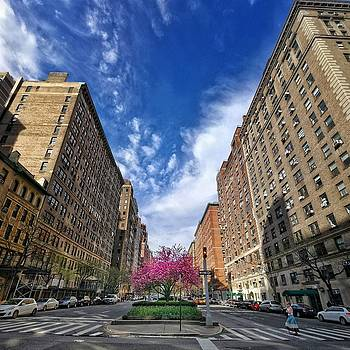 New York Park Ave. Cherry Blossoms by Cameron Dixon