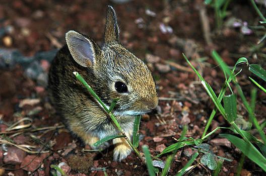 Newborn Bunny by Alynne Landers