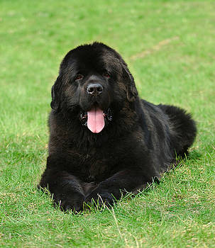 Waldek Dabrowski - Newfoundland dog portrait