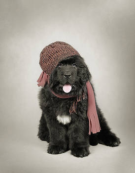 Waldek Dabrowski - Newfoundland Dog puppy