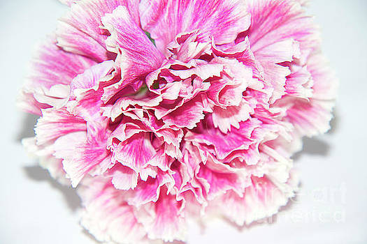 Nice Carnation by Elvira Ladocki