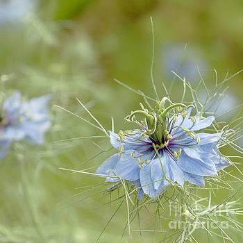 Nigella damascena by Cindy Garber Iverson