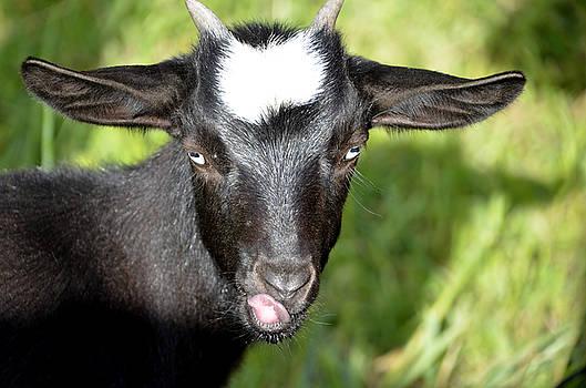 Nigerain Goat by Charles Bacon Jr