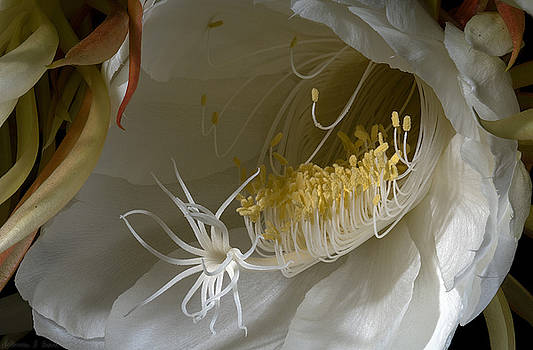 Warren Sarle - Night-Blooming Cereus - Deep 13