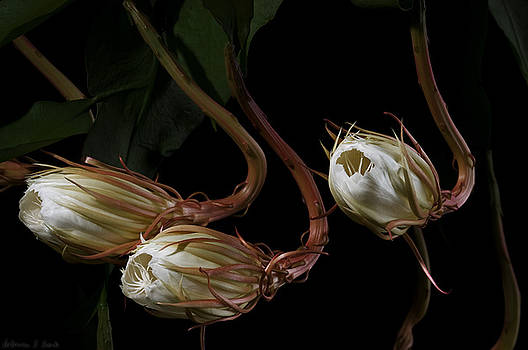 Warren Sarle - Night-Blooming Cereus 0b