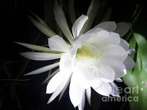 Night Blooming Cereus 2 by Ann Chapin