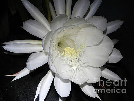Night Blooming Cereus 3 by Ann Chapin