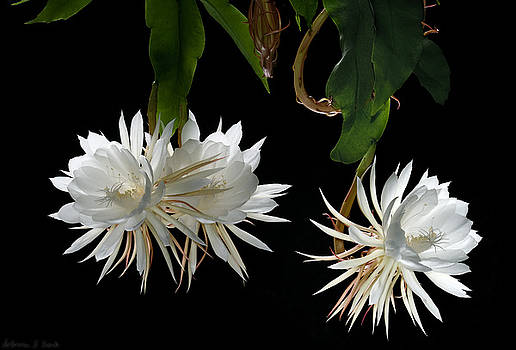 Warren Sarle - Night-Blooming Cereus 3