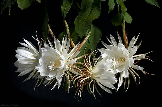 Warren Sarle - Night-Blooming Cereus 4