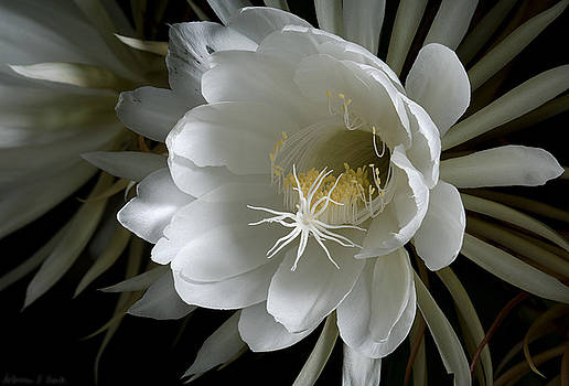 Warren Sarle - Night-Blooming Cereus Deep 1