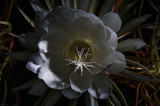 Warren Sarle - Night-Blooming Cereus Deep 2