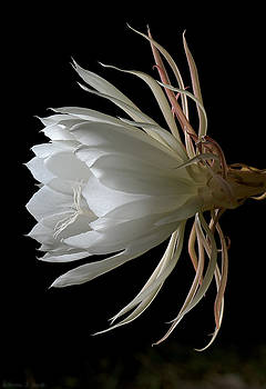 Warren Sarle - Night-Blooming Cereus Deep 3