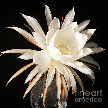 Night Blooming Cereus in a Vase by Ann Chapin
