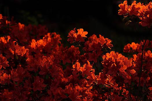 Phoresto Kim - Night Flower - no brghtness control