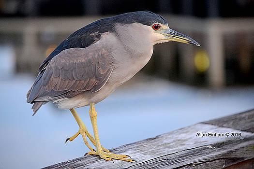 Night Heron by Allan Einhorn