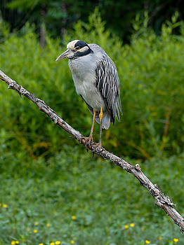 Night Heron on Slim Branch by Paula Ponath