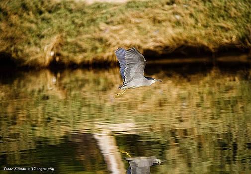 Night-heron take off by Isaac Silman