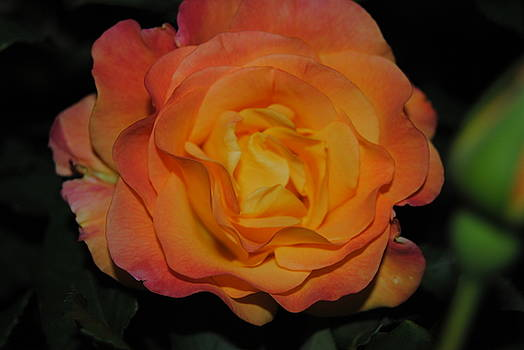 Night yellow and orange Rose by Christopher Rohleder