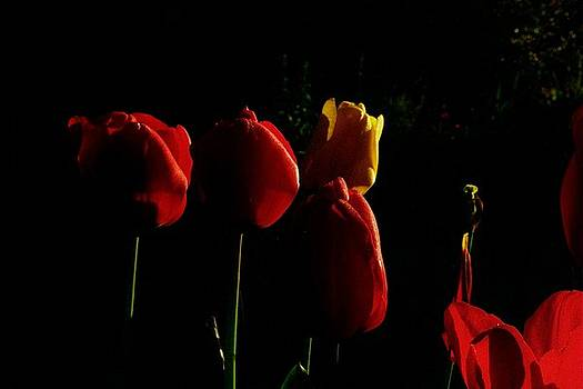 Nightime Tulips by Sarah Anderson
