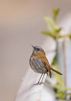 Nightingale by Fred J Lord