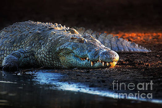 Nile crocodile on riverbank-1 by Johan Swanepoel