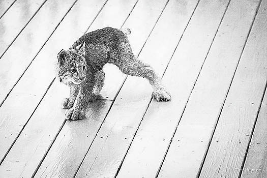 Ninja Lynx Kitty bw by Tim Newton