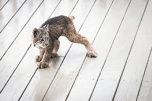 Ninja Lynx Kitty by Tim Newton