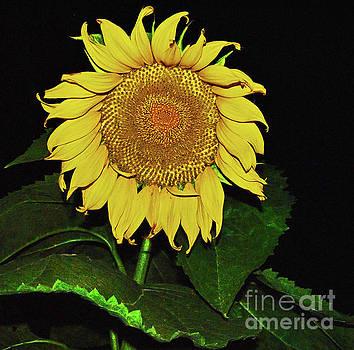 George D Gordon III - Noctural Sunflower Power