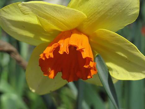 Lea Novak - Nodding Daffodil
