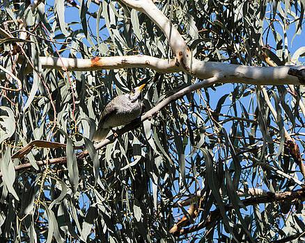 Steven Ralser - Noisy Miner Bird 1 - Canberra - Australia