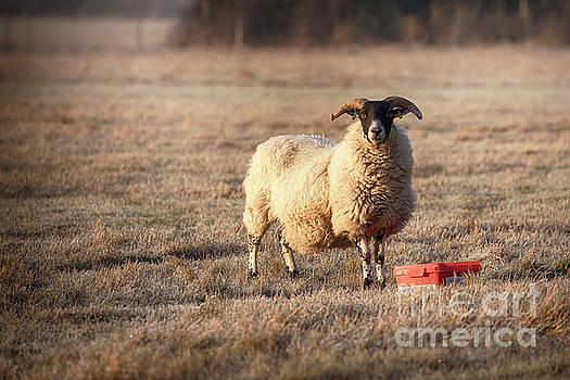 Simon Bratt Photography LRPS - Norfolk horn sheep feeding on a frosty morning