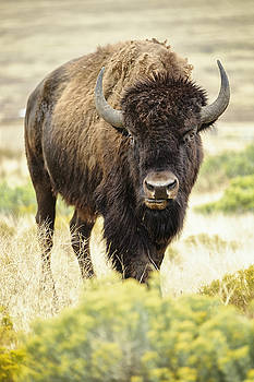 North American Bison by Rich Legg